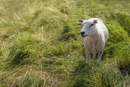 Newly shaved white sheep poses between the tall grass for the photographer.