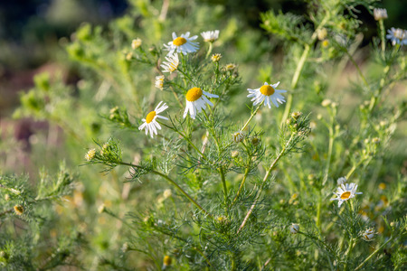 Closeup of a flowering German chamomile or Matricaria chamomilla plant growing in the wild nature. The picture was taken on a sunny day in the Dutch spring season.