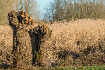 Two recently pruned pollard willows on a sunny day in the Dutch winter season. Behind the trees is a wide edge of yellowed reed stems.