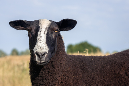 Portrait of a brown fleeced Zwartbles sheep with the characteristic white blaze on its face on a sunny morning in the Dutch summer season. The grass is dry and yellowed.