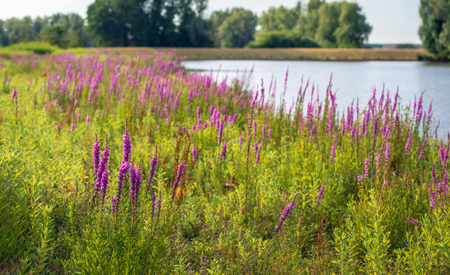 Purple Loosestrife or Lythrum salicaria plants flowering in the foreground of a landscape with a natural pond in the background. It is a windless summer evening and the water surface is mirror smooth. Banco de Imagens