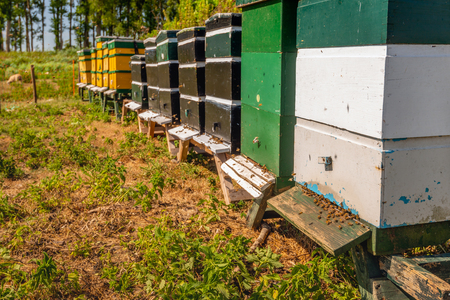 The bees throng at the entrance to their hive. The photo was taken on a sunny summer day at a village in the Dutch province of Noord-Brabant.