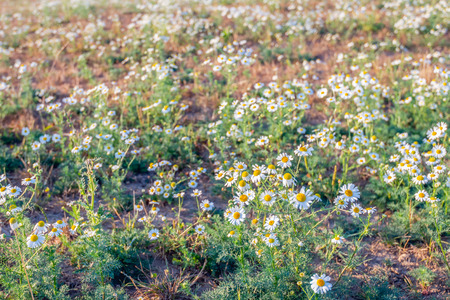 Closeup of a blossoming German chamomile or Matricaria chamomilla plant growing in the wild nature. The picture was taken on a warm and sunny evening in the Dutch summer season. Stock Photo