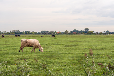 White cow with a cow recognition collar grazes in the foreground in a large meadow. In the background are black and white cows and the edge of a Dutch village. It is a cloudy day in the summer season.
