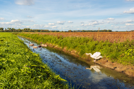 Mature mute swan warns her cygnets swimming in the polder ditch for the approaching photographer. It is a sunny day in the beginning of the Dutch fall season with a bright blue sky and white clouds. Stockfoto