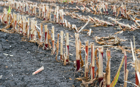 Rows of corn stubble up close. The silage maize has just been harvested. The remaining stems look frayed. Stock fotó