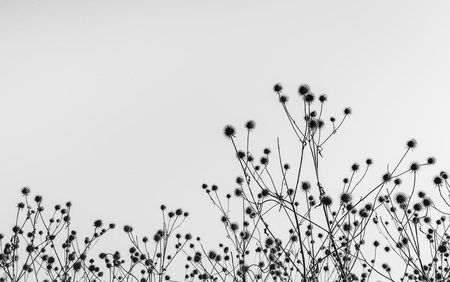 Black and white image of wilted burdock plants with hooked burs silhouetted against the sky. It is early in the morning of a sunny day in the beginning of the autumn season in the Netherlands. Standard-Bild