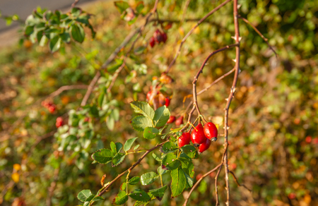 Elongated red rose hips shining in the autumn sunlight. The rose hips grow on an almost bare branch with sharp thorns and the leaves start to discolour already. The fall season has really started now. Imagens
