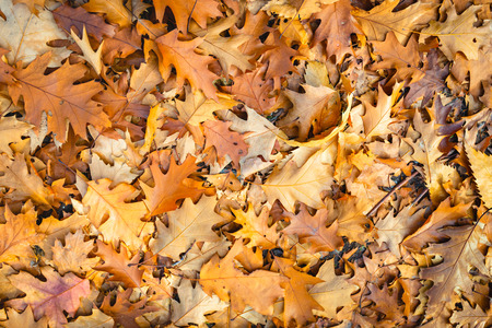 Full-screen closeup of discolored oak leaves fallen on the forest floor. The leaves have different shades of brown. It has now really become autumn in the Netherlands.