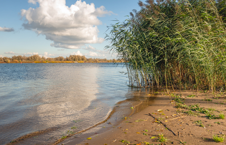 Waving reed plumes on the sandy beach on the banks of a wide Dutch river with a reflecting water surface. It is a sunny day with a blue sky in the autumn season.
