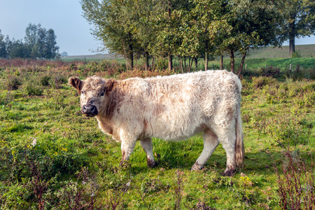 Woolly Galloway cow looks curiously at the photographer early in the morning of a misty autumn day. The cow seems pregnant. The photo was taken in a Dutch nature reserve.