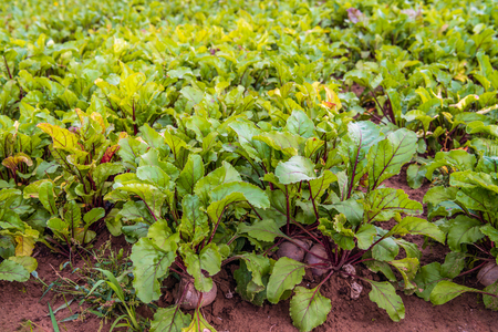 Organically grown beetroot or Beta vulgaris subsp. vulgaris plants in the  field of a Dutch arable farmer. Weeds and grasses grow between the plants and they are only removed manually and mechanically 写真素材