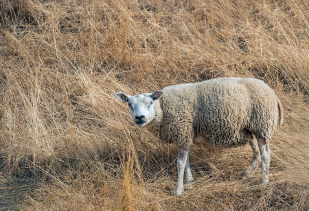 Pregnant sheep looking curiously at the photographer. The sheep stands on the slope of a dike with yellow-colored parched grass as a result of the long-lasting drought. Stockfoto