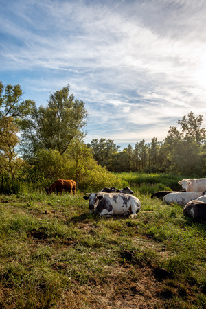 Picturesque still life in backlit with quietly ruminating cows of different breeds. The image was taken on a sunny evening in a Dutch nature reserve. Summer has just started.