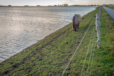 Konik horse grazing on the slope of a Dutch dike next to the water of the flooded Noordwaard polder near the village of Werkendam, North Brabant. Stockfoto - 115909690