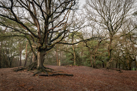 Aboveground roots of a leafless oak tree in a hilly Dutch forest in the fall season.