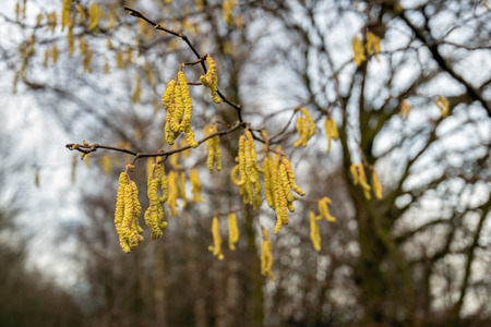 Male yellow colored alder catkins hanging on the bare branches of a tree at the end of a cloudy day in the Dutch winter season.