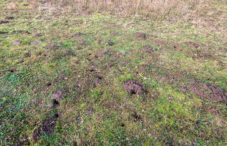 Small holes of moles and mice in the slope of a Dutch embankment in the winter season.