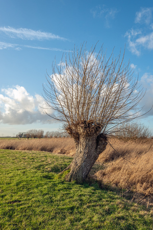Pollard willow tree with leafless branches at the edge of green grass and yellowed dry reed plants in a Dutch polder in wintertime.