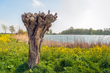 Old and recently pruned pollard willow tree on the bank of a lake. The photo was taken in the beginning of the spring season. Yellow rapeseed plants are in full bloom now.