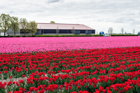 Field with bright pink and red colored flowers and buds of Dutch tulip plants in long rows. The photo was taken at a specialized bulb grower in the Netherlands. It is spring now.