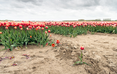 At the edge of a Dutch tulip bulb field on a cloudy day in the beginning of the spring season in the Netherlands.