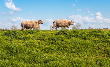 Two sheep walking behind one another on the top of a Dutch dike on a sunny day in the spring season with a bright blue sky and some small white clouds.