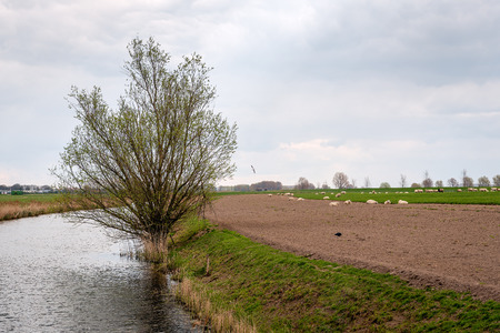 Curved stream in a Dutch polder landscape. A large willow bush is just budding. In the background a herd of sheep grazes. It is springtime now. Stockfoto