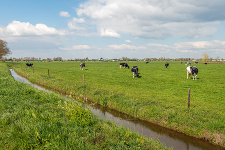 Black and white cows together grazing in a Dutch pasture with fresh green grass. The photo was taken in springtime near the village of Almkerk, North Brabant.