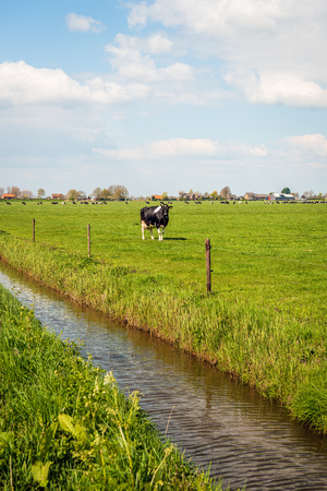 Black and white cow stands in a Dutch pasture and looks at the photographer from a distance. The photo was taken in springtime near the village of Almkerk, North Brabant.