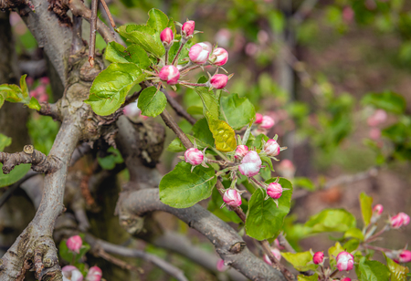 Closeup of red colored buds of apple blossom on a gnarled apple  tree branch in a Dutch orchard. It is springtime now in the Netherlands.