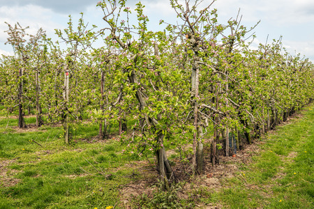 Low apple trees in a Dutch orchard in the spring season. Red and white blossoms are on the branches and twigs.