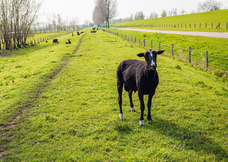 Backlit image of a recently  sheared black male sheep standing in the foreground and looking at the photographer. It is a sunny day in the Dutch spring season.