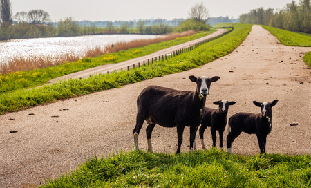 Black mother sheep poses for the photographer with her two newborn lambs on top of a Dutch dike in the beginning of the spring season. 免版税图像