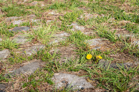 Grass and weeds grow in the joints between the stones and concrete tiles on the top of a Dutch dike. A dandelion plant is flowering bright yellow.