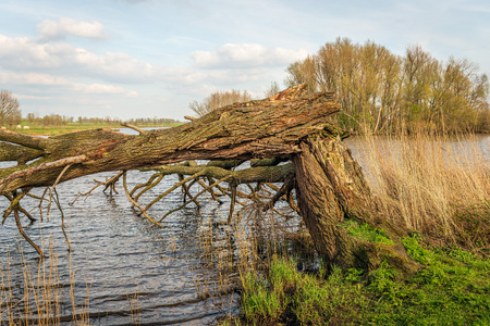 Tall leafless tree on the bank of a lake is broken and fallen into the water. The photo was taken on a sunny day in the Dutch spring season.