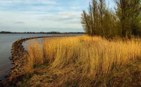 Golden reed plants and a curved dam in the Dutch river Amer near the village of Hooge Zwaluwe, Drimmelen, North Brabant. On the other side of the water is National Park Biesbosch in the background