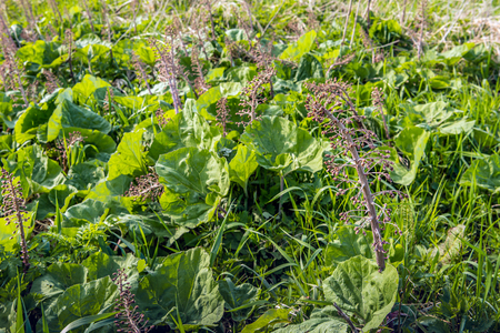 Closeup of flowers and leaves of Butterbur or Petasites hybridus plants in a Dutch nature reserve in the spring season. In some European  countries, the Butterbur leaves are used in herbal medicine.