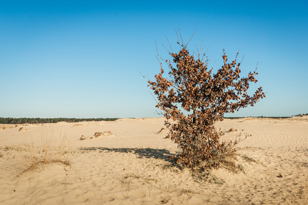 Solitary oak shrub with brown withered leaves on the slope of a sand dune on a sunny day in springtime in the Dutch National Park Loonse en Drunense Duinen near the village of Udenhout, North Brabant.