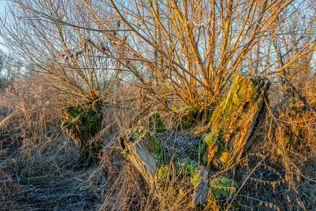 Decayed tree trunk covered with moss in the radiant light of the morning sun. The photo was taken at the end of the winter period in the Dutch National Park Biesbosch near Werkendam, North Brabant. Stockfoto - 124903603