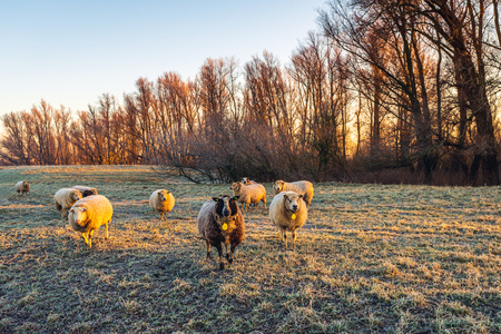Curiously looking sheep in early morning sunlight. The sheep are standing in the frozen grass of a meadow near a nature reserve. It is winter in the Netherlands. Archivio Fotografico - 124903606