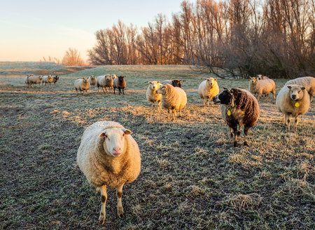 Curiously looking earmarked sheep in early morning sunlight. The sheep in winter fur are standing in the frozen grass of a meadow near a nature reserve. It is winter in the Netherlands. Stockfoto