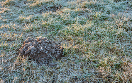 Closeup of a molehill in the grass in winter. Both the molehill and the blades of grass are covered with hoarfrost. Archivio Fotografico - 124903610