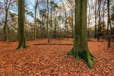 Tall beech trees in the foreground of a Dutch forest in the beginning of the winter season. The trees stand in a real carpet of many fallen red-brown beech leaves. Archivio Fotografico - 124903682