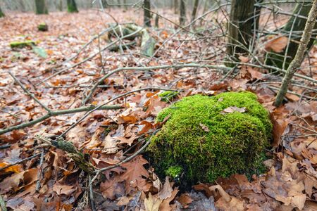Moss-covered tree stump among fallen brown-red colored oak leaves. The moss is bright green, almost luminous, colored. The photo was taken in a Dutch forest in the fall season. Archivio Fotografico - 124903684