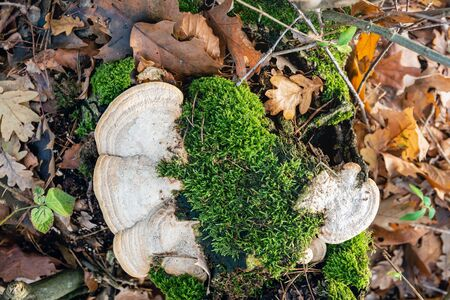 Top view of a white fungus and fresh green moss on the top of a tree stump. The photo was taken in a Dutch nature reserve on a sunny day in the winter season. Archivio Fotografico - 124903691
