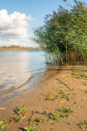 Wild plants and waving reed plumes on the sandy beach on the banks of a wide Dutch river with a reflecting water surface. It is a sunny day with a blue sky in the autumn season.