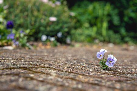 Primo piano di una piccola viola fiorita bianca e viola tra le pietre di un terrazzo. L'obiettivo della fotocamera è focalizzato con precisione sulla piccola pianta e l'ambiente circostante è sfocato. Archivio Fotografico
