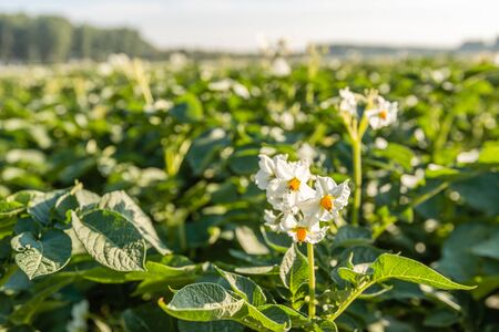 Closeup of a white and yellow blossoming potato plant in the foreground of large field in the Netherlands. It is early in the morning of a sunny day in the beginning of the summer season. Stock Photo
