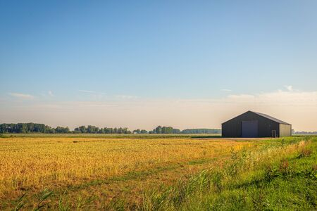 Ripe golden wheat on a large field with a modern barn in the background. The photo was taken with low sunlight early in a morning of a nice day in the beginning of the summer season.